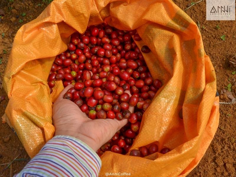 arabica lâm đồng anni coffee